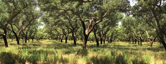 las korkowy